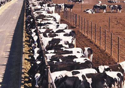 الماشية - ارشيفية