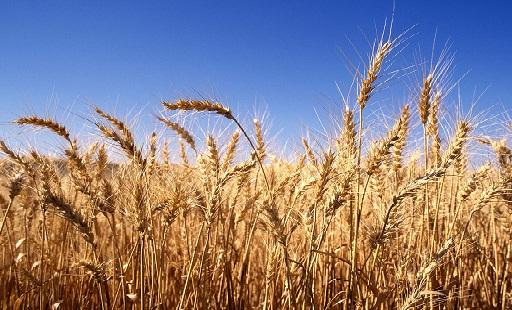 القمح, القمح الروسى, مصر, صادرات, مستورد قمح