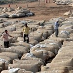 ازمة القطن المصرى، والغاء الدعم ، انخفاض اسعار القطن