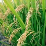 الأرز المصري