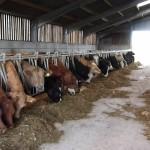 مزرعة ماشية