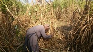 مزارعي القصب