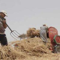 حصاد القمح