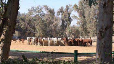 محطة الزهراء للخيول