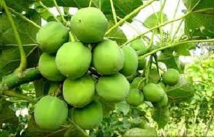 نبات الجاتروفا