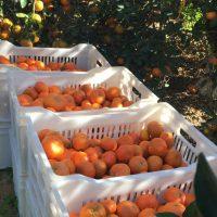 برتقال ؛ الموالح ؛ مزارع مافا