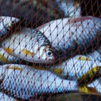 الثروة السمكية ؛ الأسماك ؛ أسماك